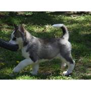 Jody is a grey and white male Siberian husky puppy